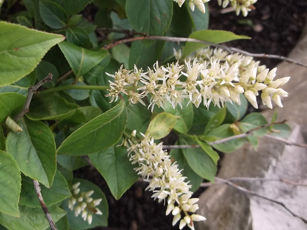 Virginia Sweetspire (Itea virginica)