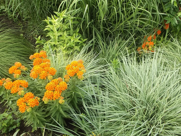 Butterfly Milkweed with Little Bluestem grass