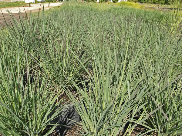 246 andropogon red october