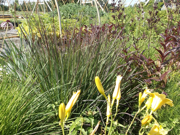 274 andropogon 'red october'
